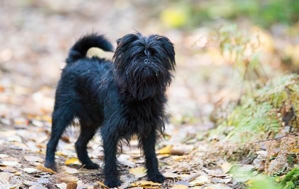 Гипоаллергенные-породы-собак-Описание-названия-виды-и-фото-гипоаллергенных-пород-21