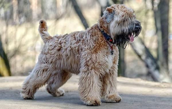 Гипоаллергенные-породы-собак-Описание-названия-виды-и-фото-гипоаллергенных-пород-22