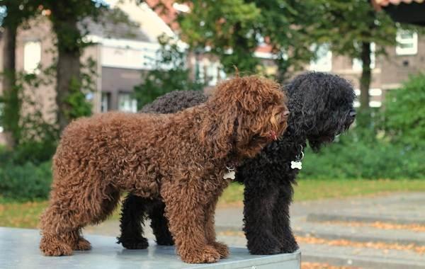 Гипоаллергенные-породы-собак-Описание-названия-виды-и-фото-гипоаллергенных-пород-23