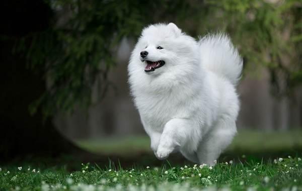 Гипоаллергенные-породы-собак-Описание-названия-виды-и-фото-гипоаллергенных-пород-24