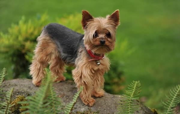 Гипоаллергенные-породы-собак-Описание-названия-виды-и-фото-гипоаллергенных-пород-25