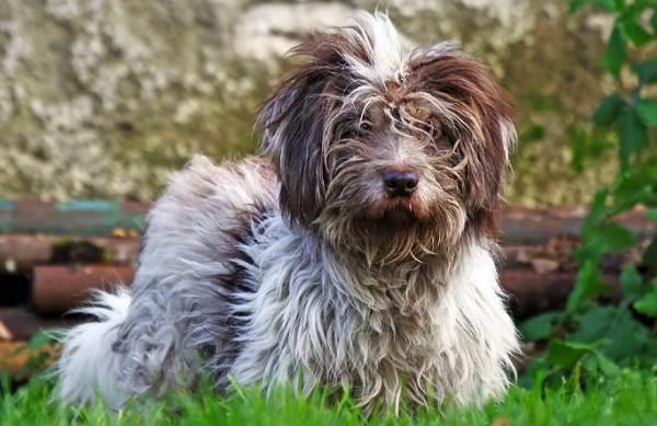 Гипоаллергенные-породы-собак-Описание-названия-виды-и-фото-гипоаллергенных-пород-26