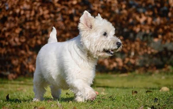Гипоаллергенные-породы-собак-Описание-названия-виды-и-фото-гипоаллергенных-пород-27