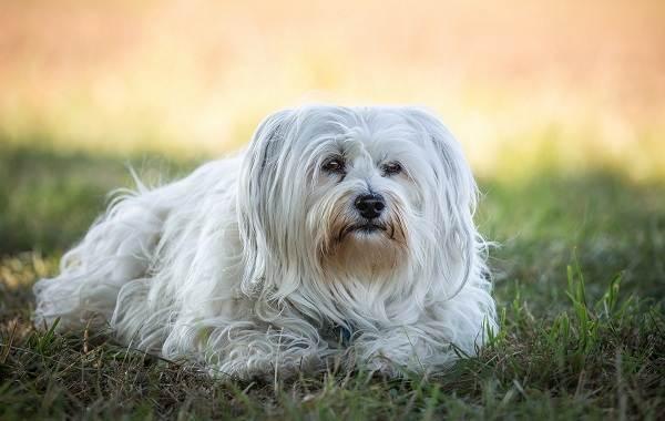 Гипоаллергенные-породы-собак-Описание-названия-виды-и-фото-гипоаллергенных-пород-28