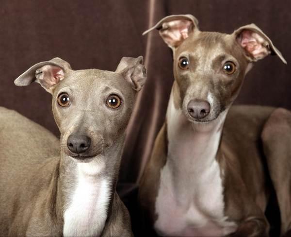 Гипоаллергенные-породы-собак-Описание-названия-виды-и-фото-гипоаллергенных-пород-6