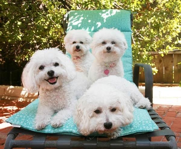 Гипоаллергенные-породы-собак-Описание-названия-виды-и-фото-гипоаллергенных-пород-9