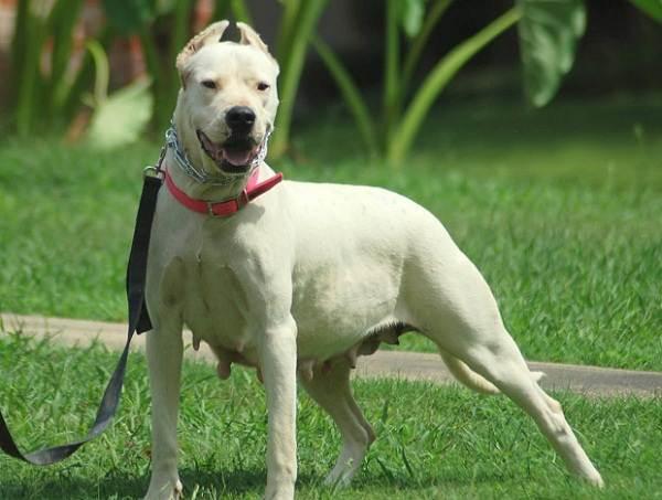 Гуль-донг-собака-Описание-особенности-виды-характер-и-цена-породы-гуль-донг-1