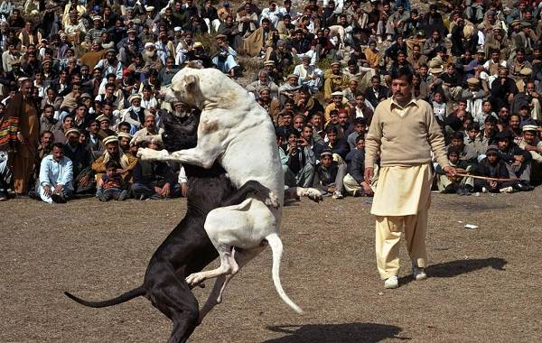 Гуль-донг-собака-Описание-особенности-виды-характер-и-цена-породы-гуль-донг-10