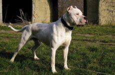 Гуль донг собака. Описание, особенности, виды, характер и цена породы гуль донг