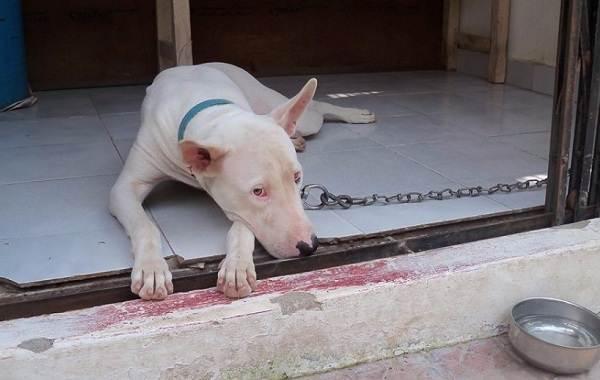 Гуль-донг-собака-Описание-особенности-виды-характер-и-цена-породы-гуль-донг-7