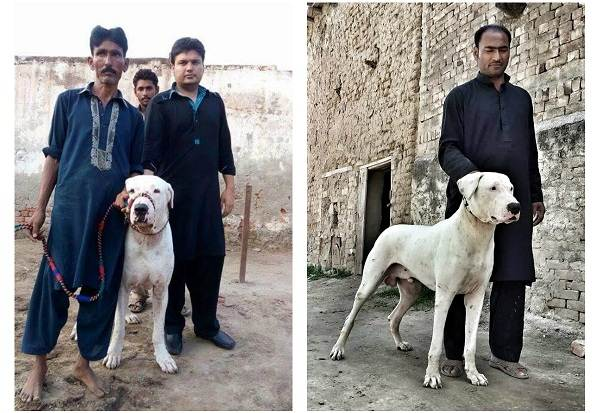Гуль-донг-собака-Описание-особенности-виды-характер-и-цена-породы-гуль-донг-8