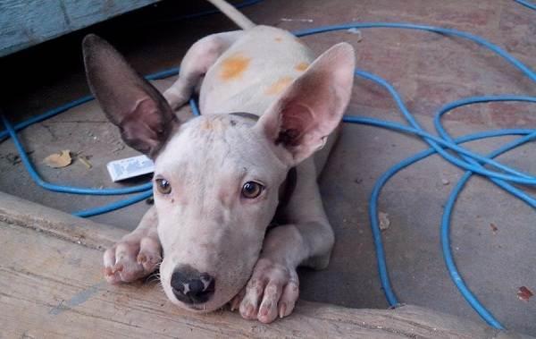 Гуль-донг-собака-Описание-особенности-виды-характер-и-цена-породы-гуль-донг-9