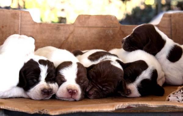 Каталбурун-порода-собаки-Описание-особенности-виды-характер-и-фото-каталбуруна-6