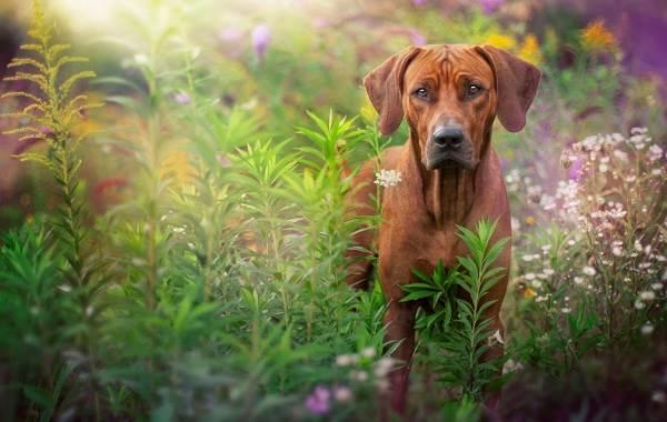 Красивые-породы-собак-Описание-названия-виды-и-фото-красивых-собак-1