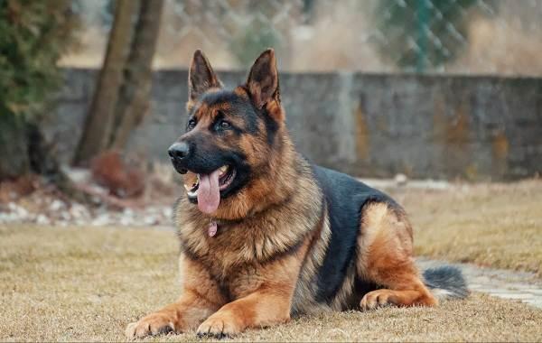 Красивые-породы-собак-Описание-названия-виды-и-фото-красивых-собак-10