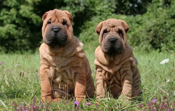 Красивые-породы-собак-Описание-названия-виды-и-фото-красивых-собак-11