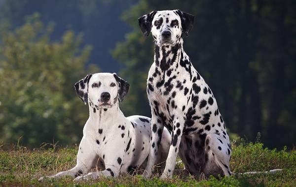Красивые-породы-собак-Описание-названия-виды-и-фото-красивых-собак-14