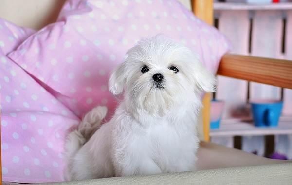 Красивые-породы-собак-Описание-названия-виды-и-фото-красивых-собак-15