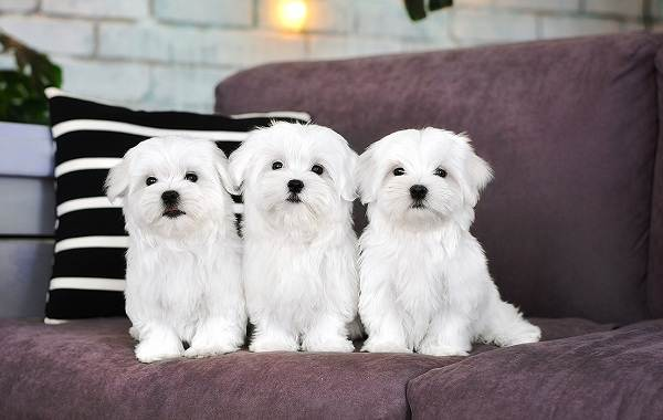 Красивые-породы-собак-Описание-названия-виды-и-фото-красивых-собак-16