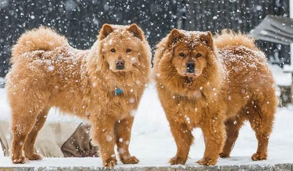 Красивые-породы-собак-Описание-названия-виды-и-фото-красивых-собак-18