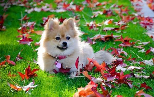 Красивые-породы-собак-Описание-названия-виды-и-фото-красивых-собак-19