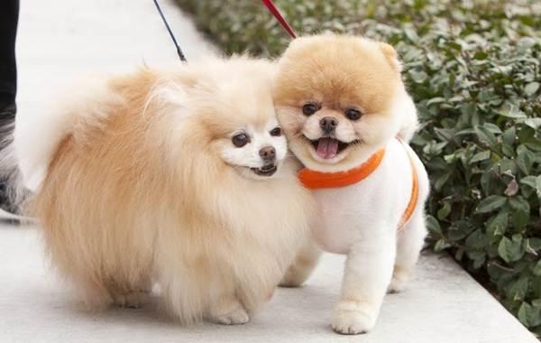 Красивые-породы-собак-Описание-названия-виды-и-фото-красивых-собак-20