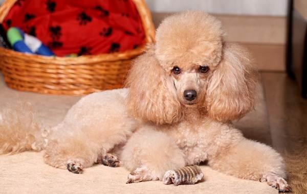 Красивые-породы-собак-Описание-названия-виды-и-фото-красивых-собак-21