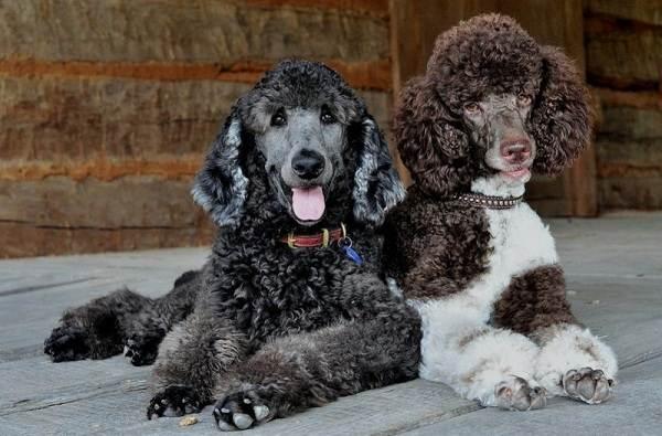 Красивые-породы-собак-Описание-названия-виды-и-фото-красивых-собак-22