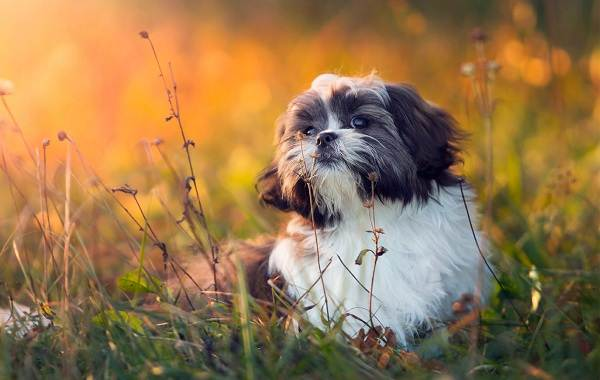 Красивые-породы-собак-Описание-названия-виды-и-фото-красивых-собак-23