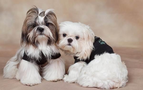 Красивые-породы-собак-Описание-названия-виды-и-фото-красивых-собак-24