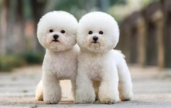 Красивые-породы-собак-Описание-названия-виды-и-фото-красивых-собак-25