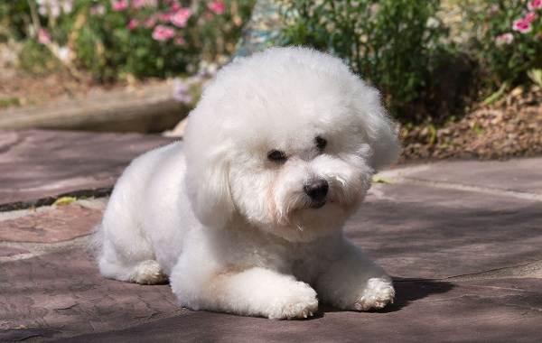 Красивые-породы-собак-Описание-названия-виды-и-фото-красивых-собак-26