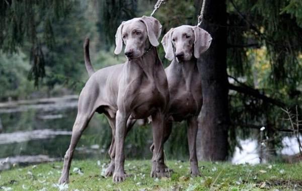 Красивые-породы-собак-Описание-названия-виды-и-фото-красивых-собак-27