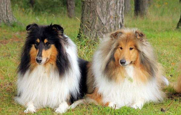 Красивые-породы-собак-Описание-названия-виды-и-фото-красивых-собак-29