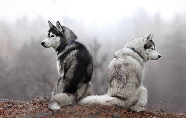 Красивые-породы-собак-Описание-названия-виды-и-фото-красивых-собак-4