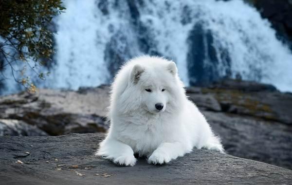 Красивые-породы-собак-Описание-названия-виды-и-фото-красивых-собак-5