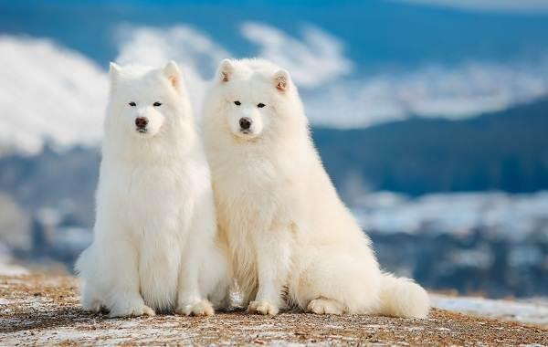 Красивые-породы-собак-Описание-названия-виды-и-фото-красивых-собак-6
