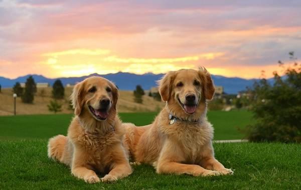 Красивые-породы-собак-Описание-названия-виды-и-фото-красивых-собак-7
