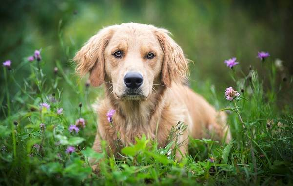 Красивые-породы-собак-Описание-названия-виды-и-фото-красивых-собак-8