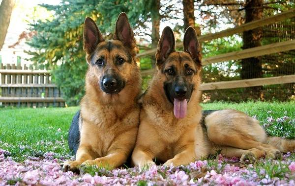 Красивые-породы-собак-Описание-названия-виды-и-фото-красивых-собак-9