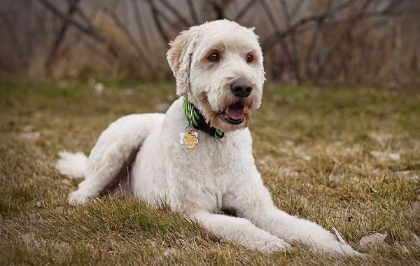 Лабрадудель-собака-Описание-особенности-виды-уход-и-цена-породы-лабрадудель-10