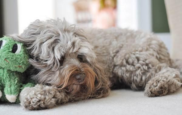 Лабрадудель-собака-Описание-особенности-виды-уход-и-цена-породы-лабрадудель-12