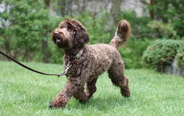 Лабрадудель-собака-Описание-особенности-виды-уход-и-цена-породы-лабрадудель-13