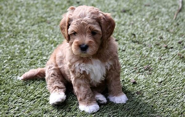 Лабрадудель-собака-Описание-особенности-виды-уход-и-цена-породы-лабрадудель-14