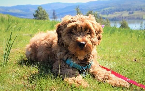 Лабрадудель-собака-Описание-особенности-виды-уход-и-цена-породы-лабрадудель-15