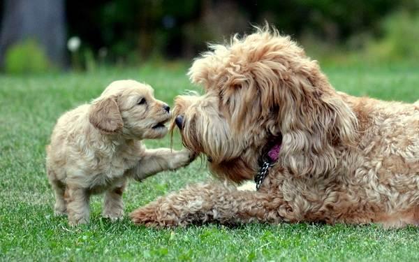 Лабрадудель-собака-Описание-особенности-виды-уход-и-цена-породы-лабрадудель-16