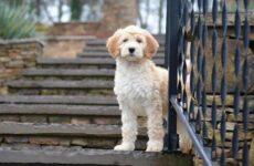 Лабрадудель собака. Описание, особенности, виды, уход и цена породы лабрадудель