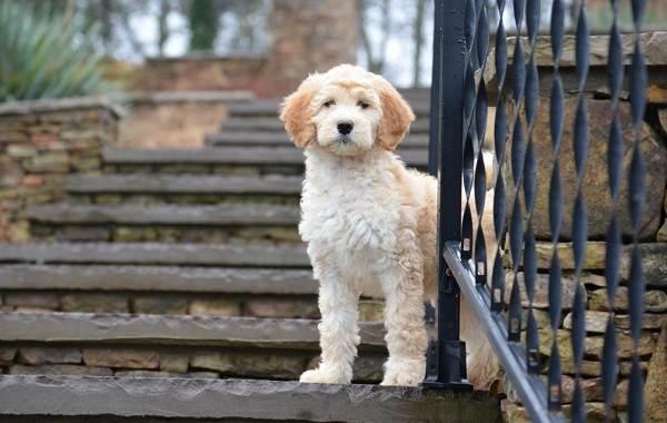 Лабрадудель-собака-Описание-особенности-виды-уход-и-цена-породы-лабрадудель-18