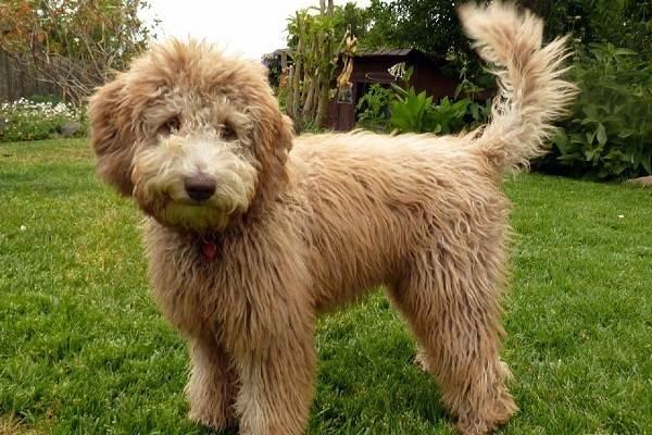 Лабрадудель-собака-Описание-особенности-виды-уход-и-цена-породы-лабрадудель-2