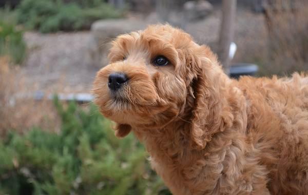 Лабрадудель-собака-Описание-особенности-виды-уход-и-цена-породы-лабрадудель-3